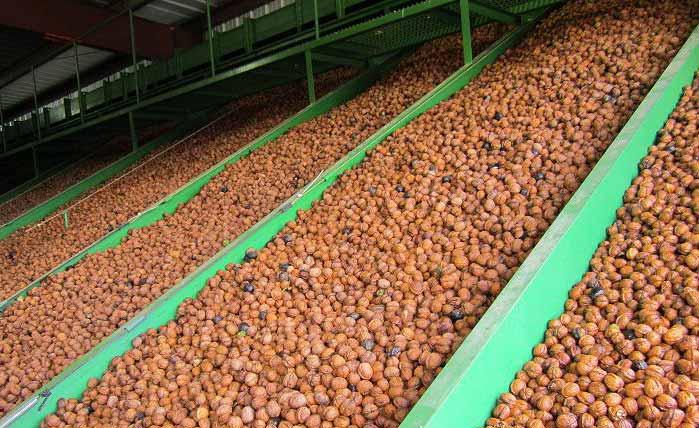 Walnut Processing 1974