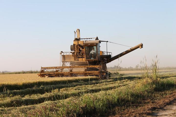 Rice Harvest 2012