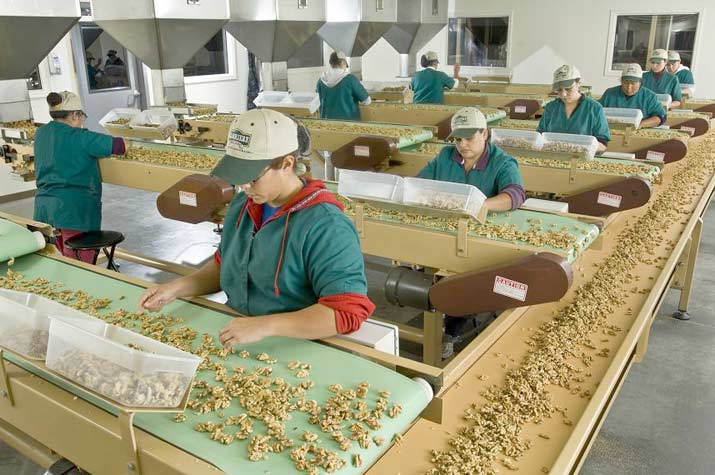 Hand sorting fresh Carriere walnuts in 2000